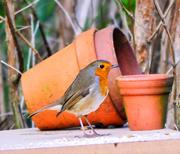 3rd Mar 2020 - Robin In the Garden.