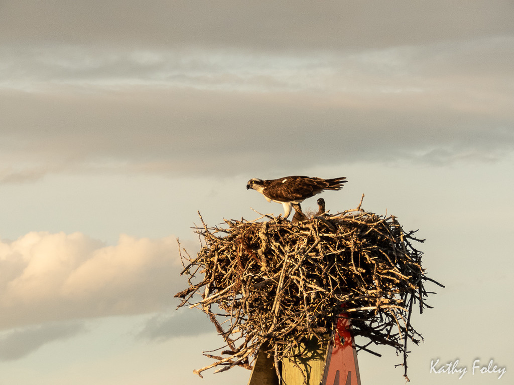 Osprey and babies  by radiogirl