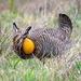 Attwater's Prairie Chicken by backyardbirdnerd