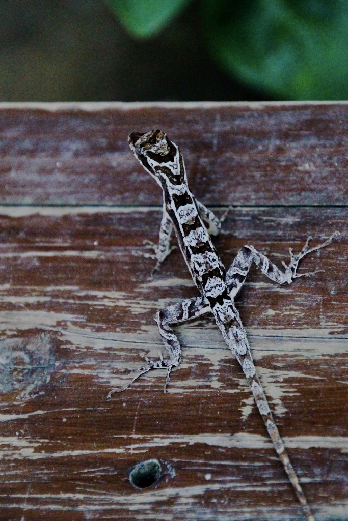Anole by mzzhope