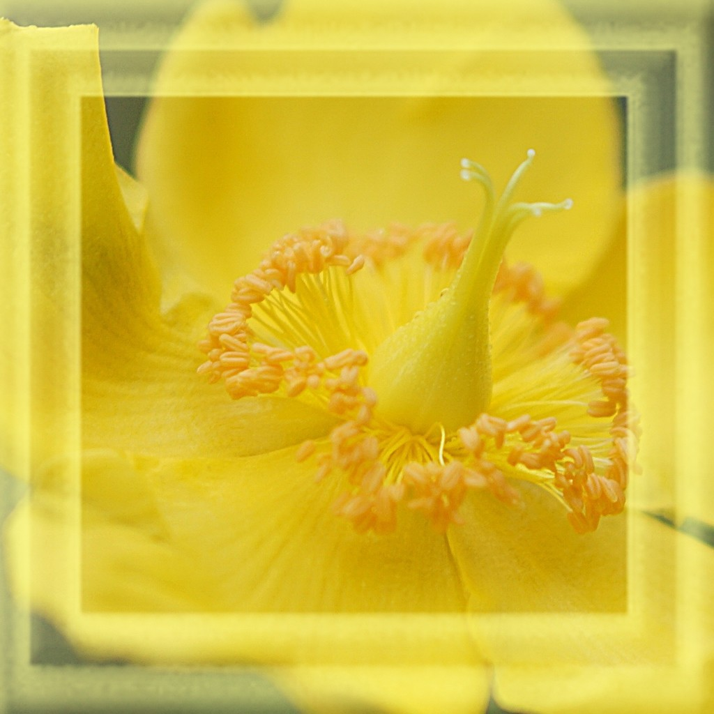 hypericum in a frame by quietpurplehaze