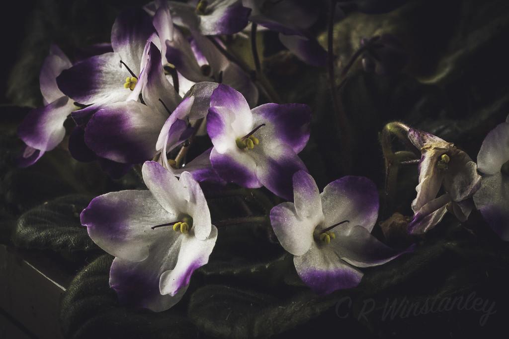 Violet by kipper1951