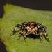Jumping Spider  by glendamg