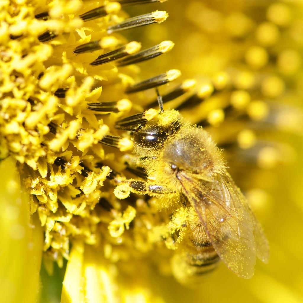 Busy Bee_DSC0164 by merrelyn