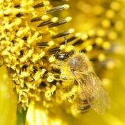 4th Mar 2020 - Busy Bee_DSC0164