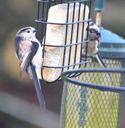 4th Mar 2020 - Long-tailed Tits