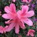 Beautiful azaleas — they are the hallmark on Spring here in coastal South Carolina