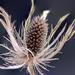 dried flower  by mv_wolfie