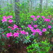 The hallmark of Spring here— azaleas in all their finery.