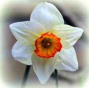 5th Mar 2020 - Spring flowers of our garden 1 (Narcissus)