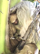 5th Mar 2020 - Baby Two Toed Sloth