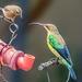 Mr and Mrs.Malachite Sunbird by ludwigsdiana