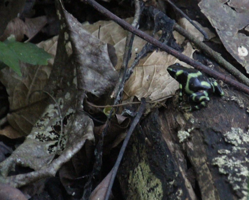 Poison Dart Frog! by mzzhope