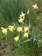 5th Mar 2020 - Staffordshire daffodils