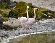 5th Mar 2020 - Pretty Flamingo