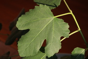 5th Mar 2020 - Fig Leaf for rainbow2020