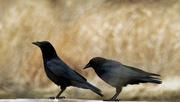 5th Mar 2020 - crows
