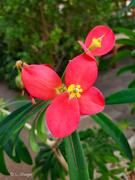 5th Mar 2020 - Jamaican poinsettia bloom