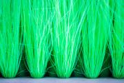 5th Mar 2020 - Green Broom