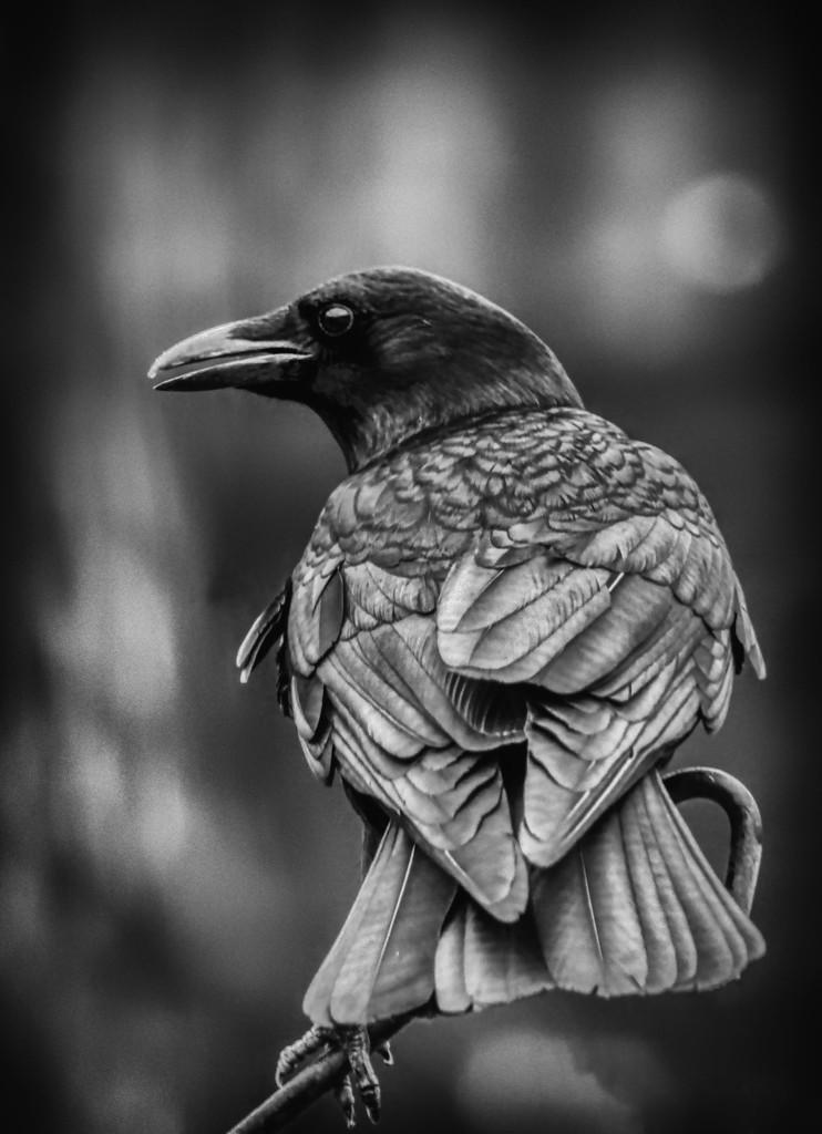 Crow by kvphoto