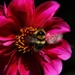 the buzz about dahlias by kali66
