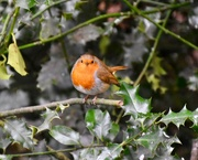 6th Mar 2020 - Robin