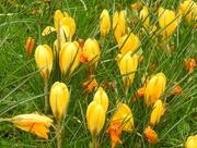 4th Mar 2020 - Yellow Crocuses