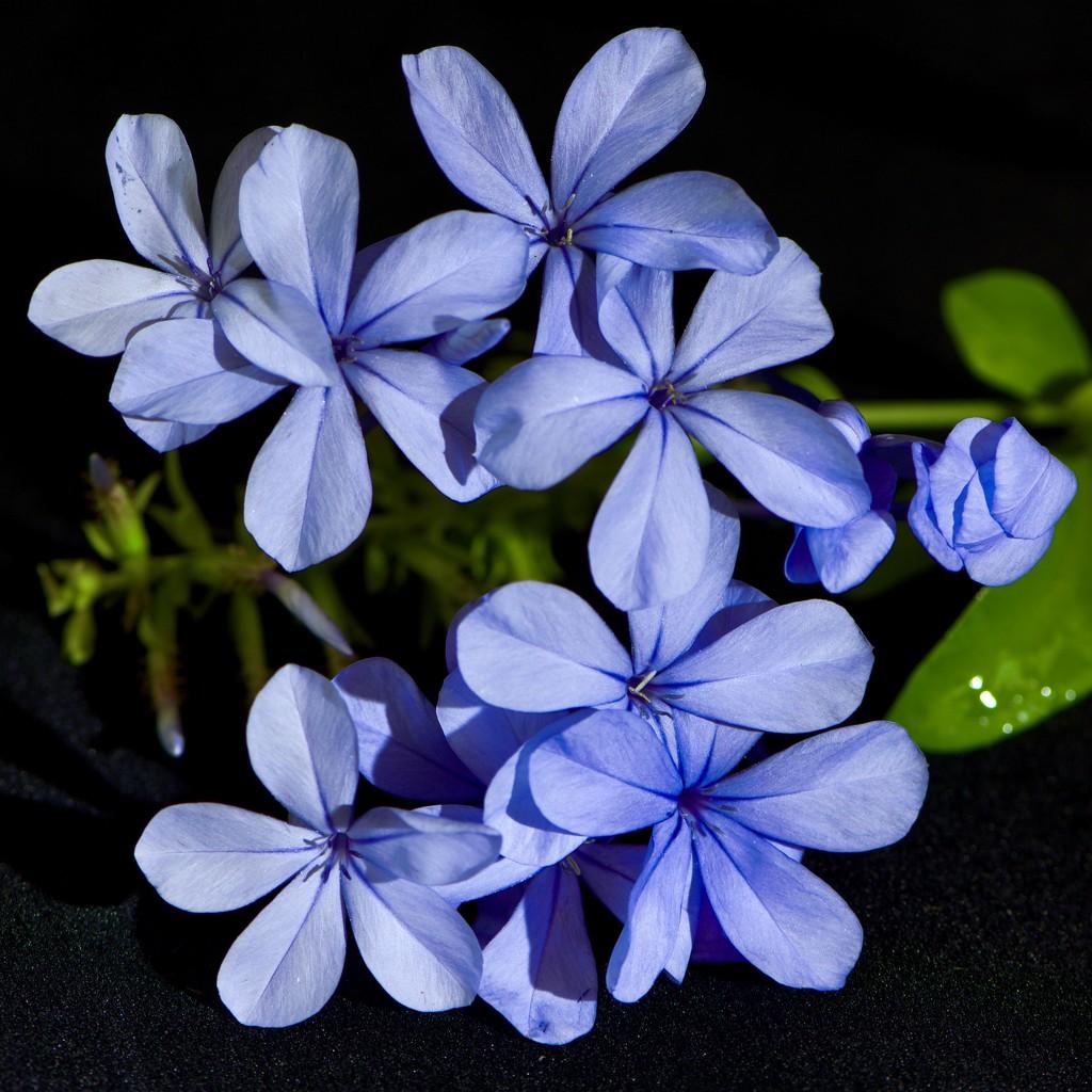 Blue Plumbago DSC_0803 by merrelyn