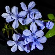 6th Mar 2020 - Blue Plumbago DSC_0803