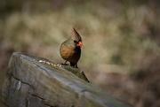 5th Mar 2020 - Female Cardinal