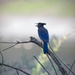 Steller's Jay by mikegifford