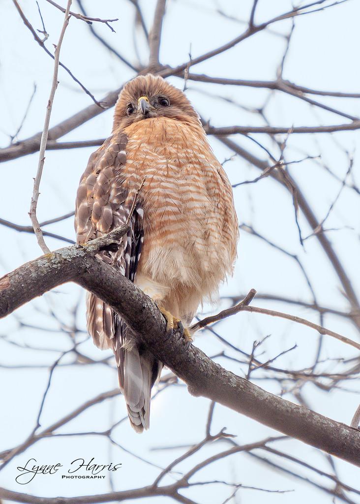 Red Shouldered Hawk by lynne5477