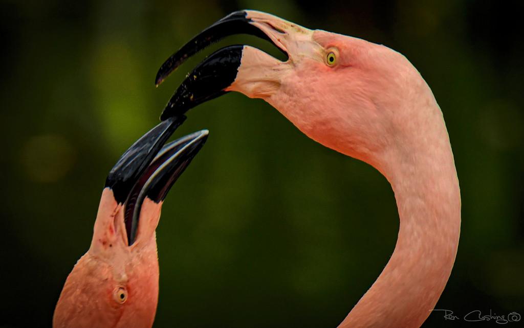 Flamingo Friday '20 09 by stray_shooter