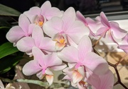 7th Mar 2020 - Orchids
