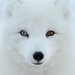 Wall Eyed Arctic Fox by sprphotos