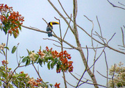 8th Mar 2020 - Yellow throated Toucan