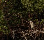 7th Mar 2020 - Blue Heron