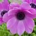 Anemone  by wendyfrost