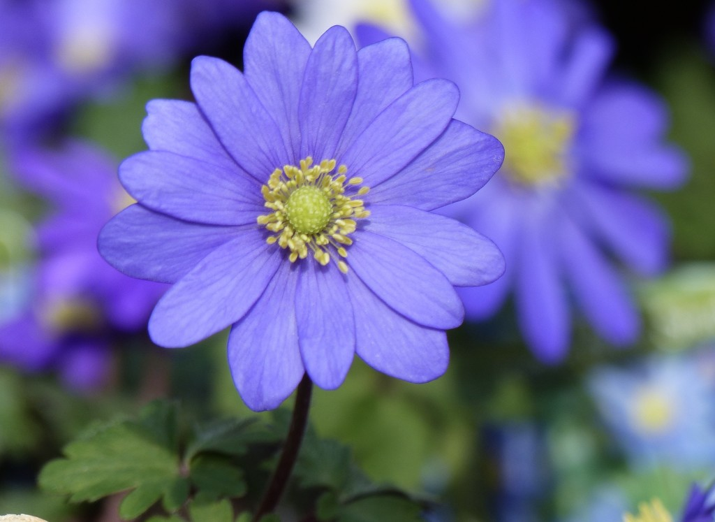 Anemone Blanda by foxes37