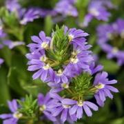 8th Mar 2020 - Violet Flowers P2091541