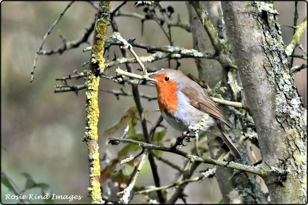 Today's robin by rosiekind