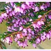 Winter Heather -2