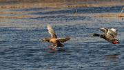 8th Mar 2020 - ducks in flight