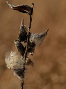 8th Mar 2020 - milkweed