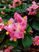 8th Mar 2020 - Pink flower