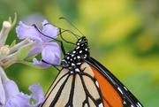 9th Mar 2020 - Monarch butterfly feeding