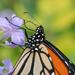 Monarch butterfly feeding by maureenpp
