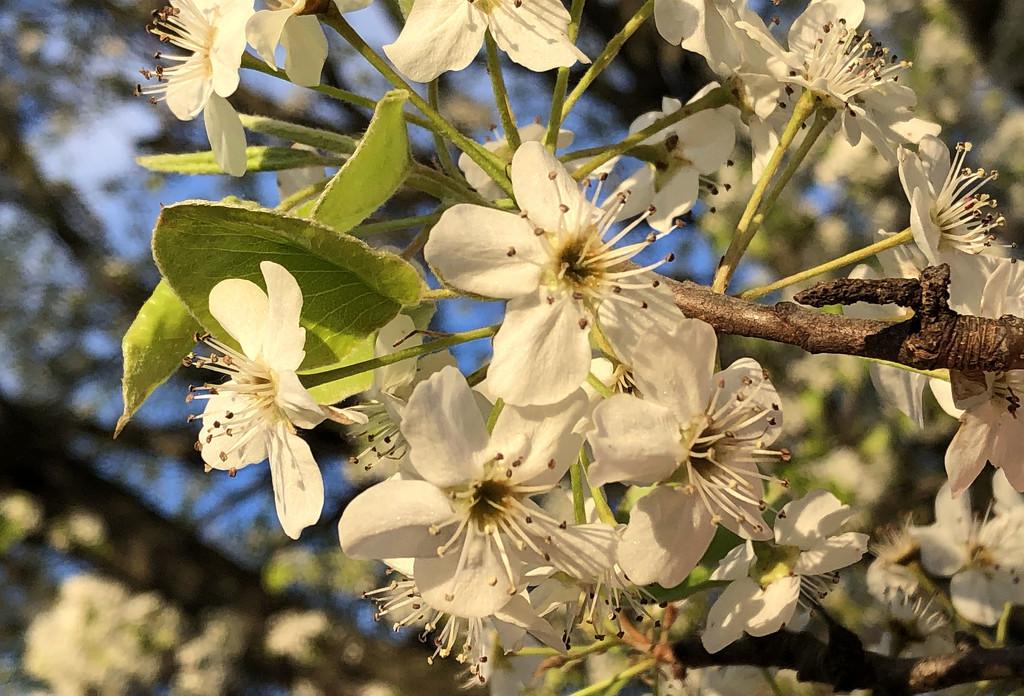 Bradford Pear blossom macro by homeschoolmom