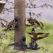 goldfinch squabble by shepherdmanswife