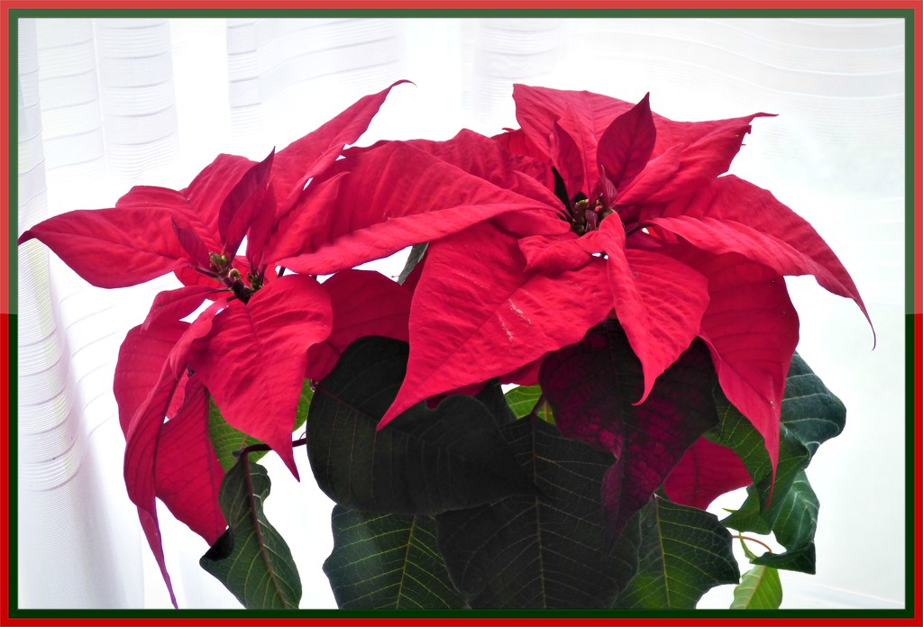 Poinsettta  by beryl